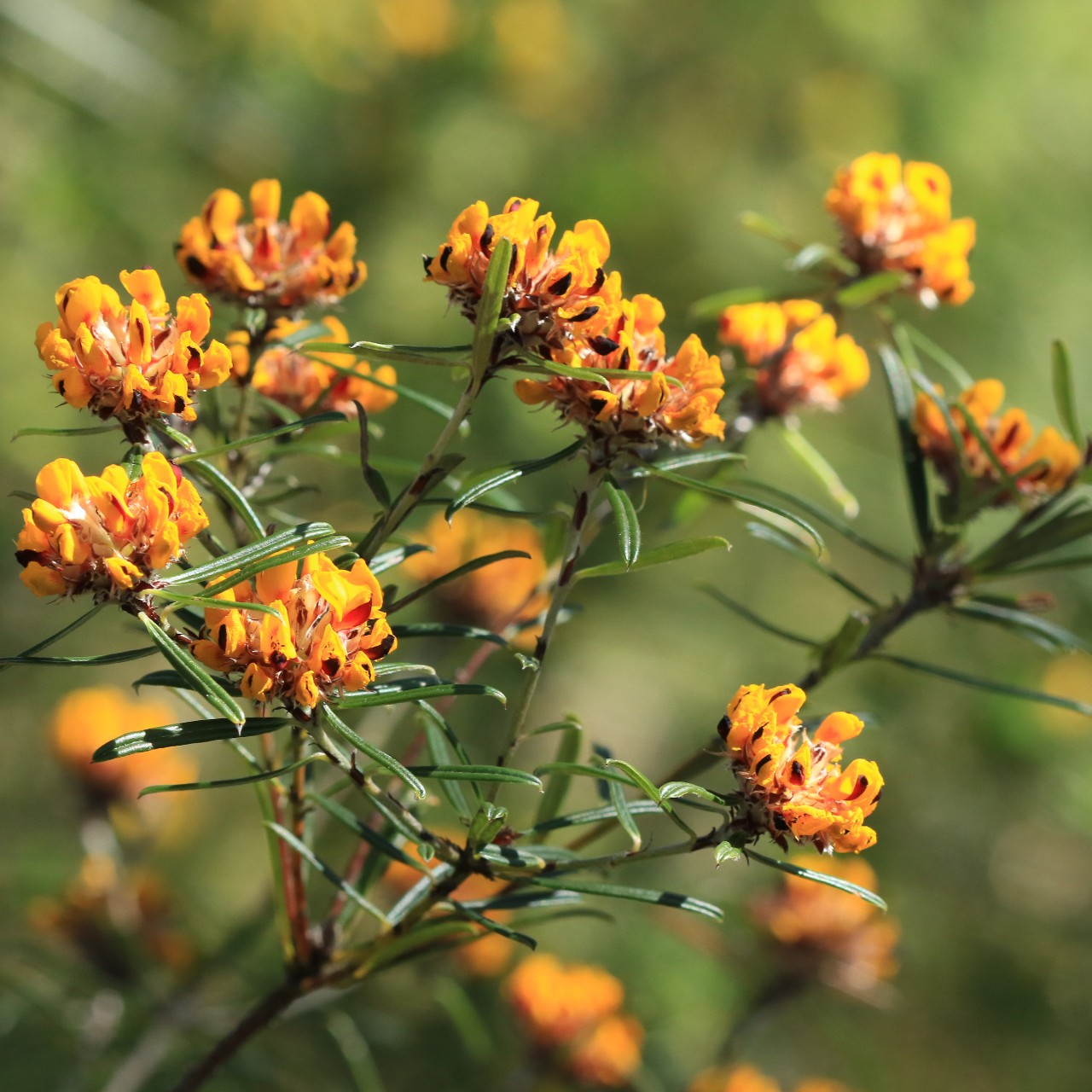 orange native flowers