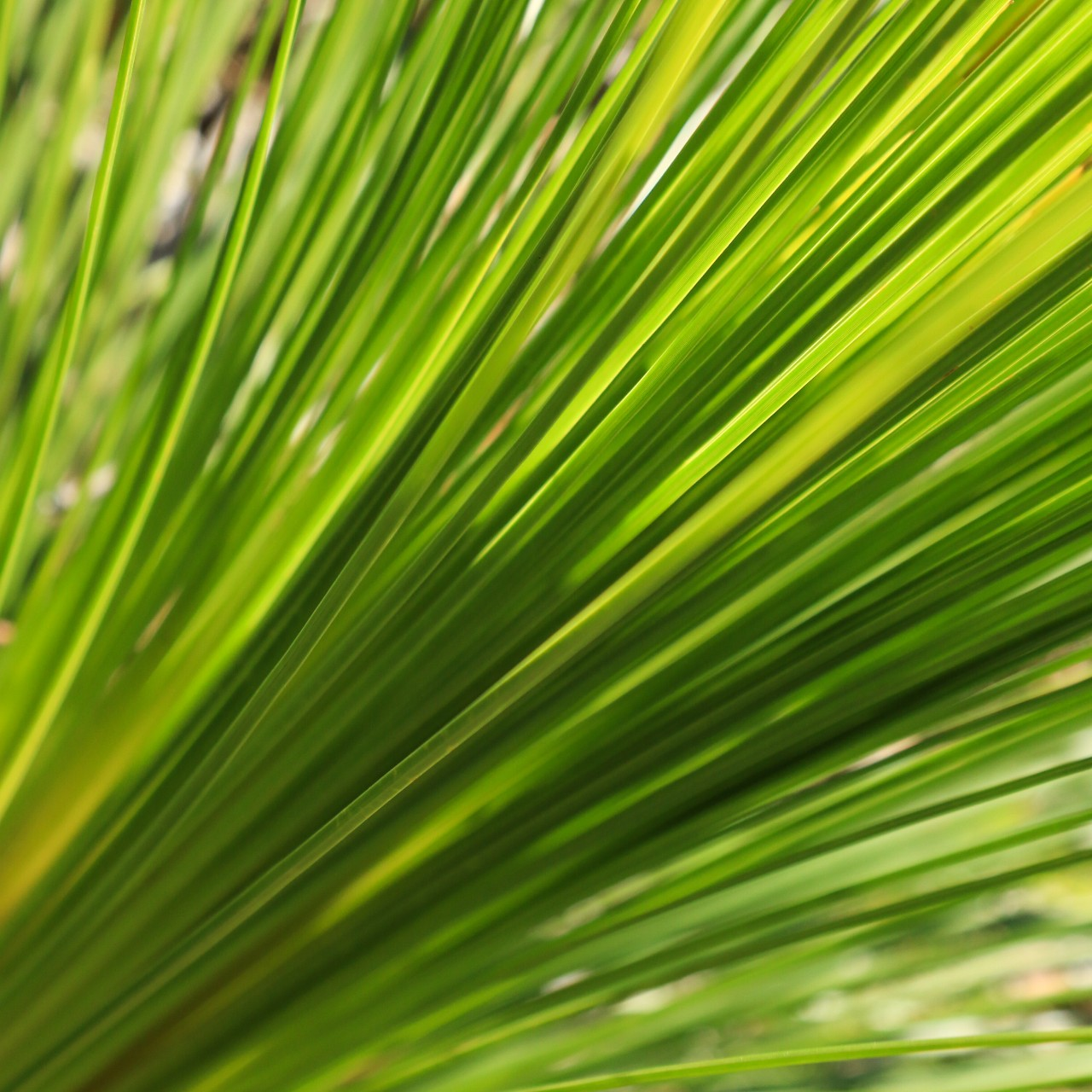 leaves of a grass tree