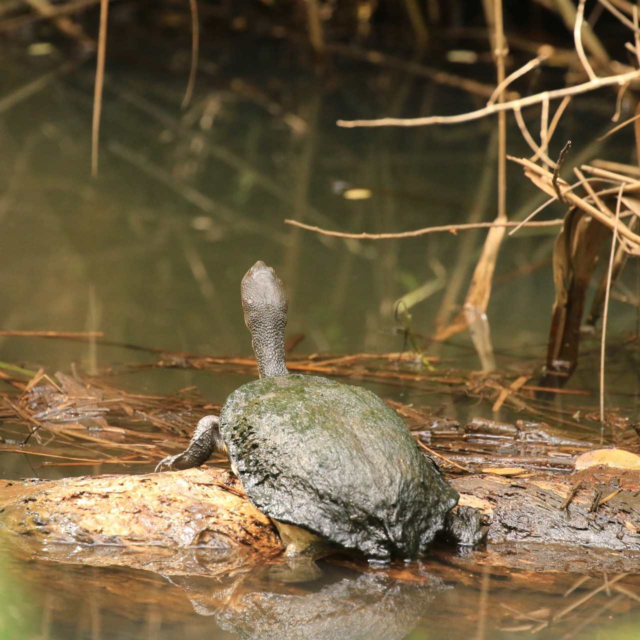 long neck turtle on a log in a creek