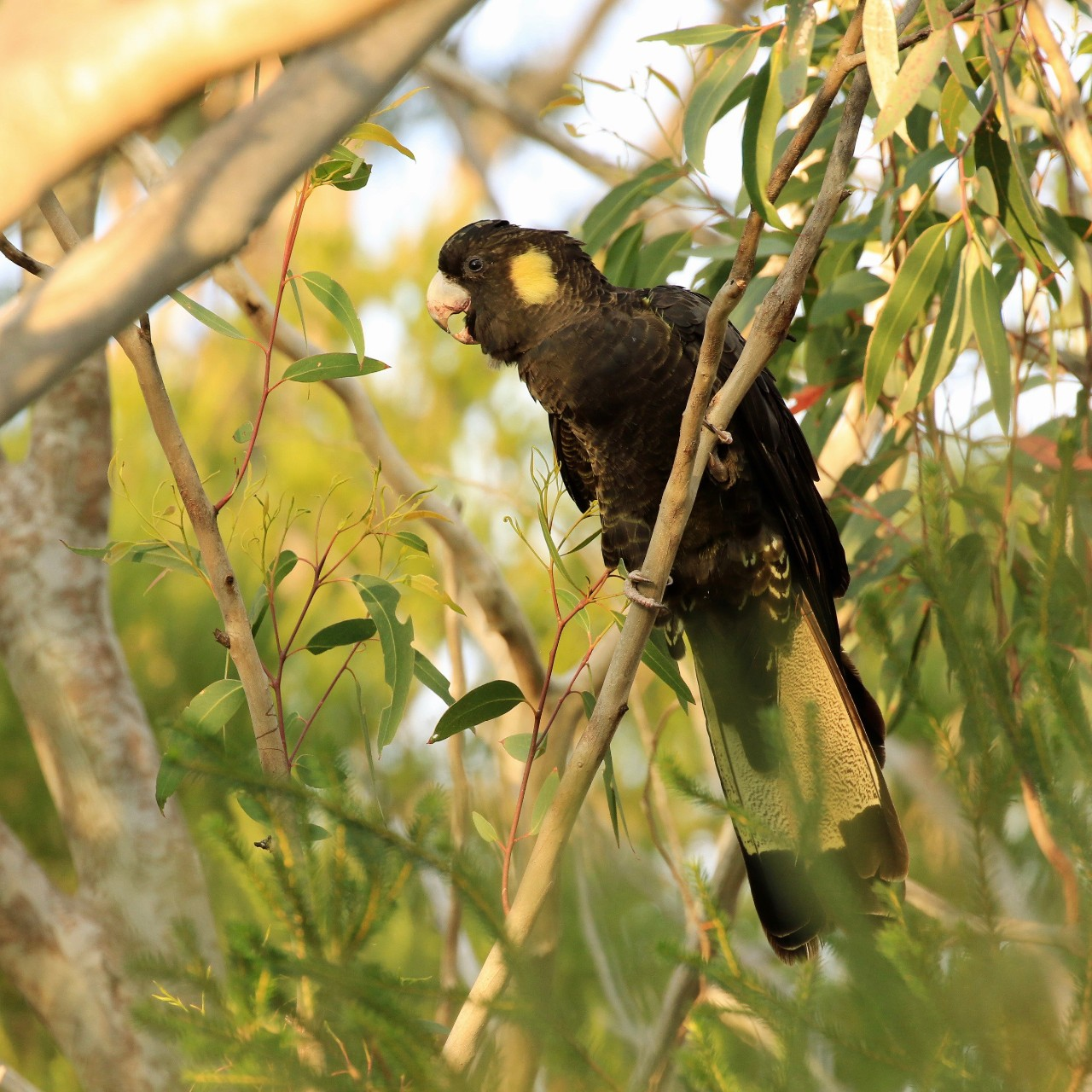 yellow tail black cockatoo in a tree