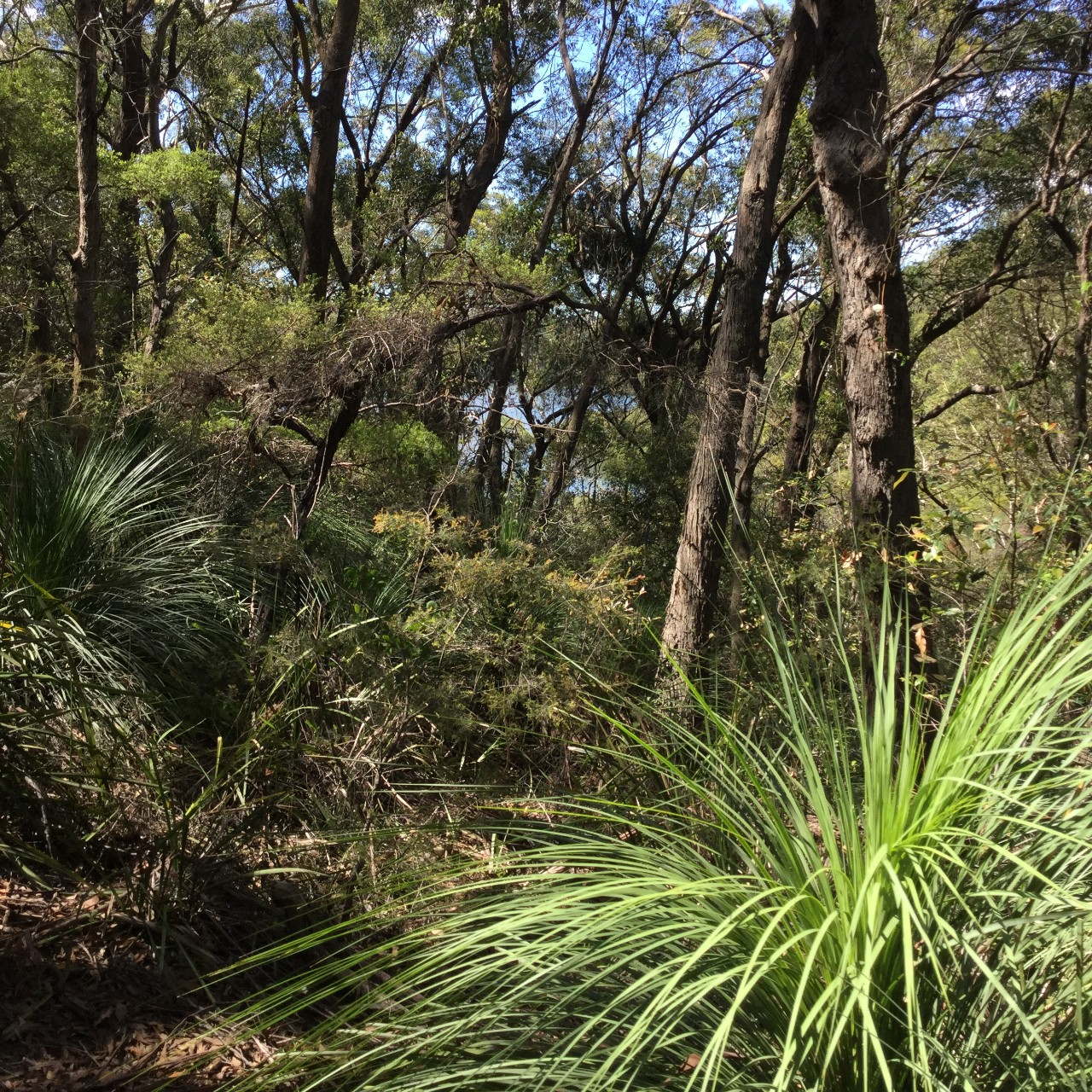 bushland photo with grass tree and gum trees