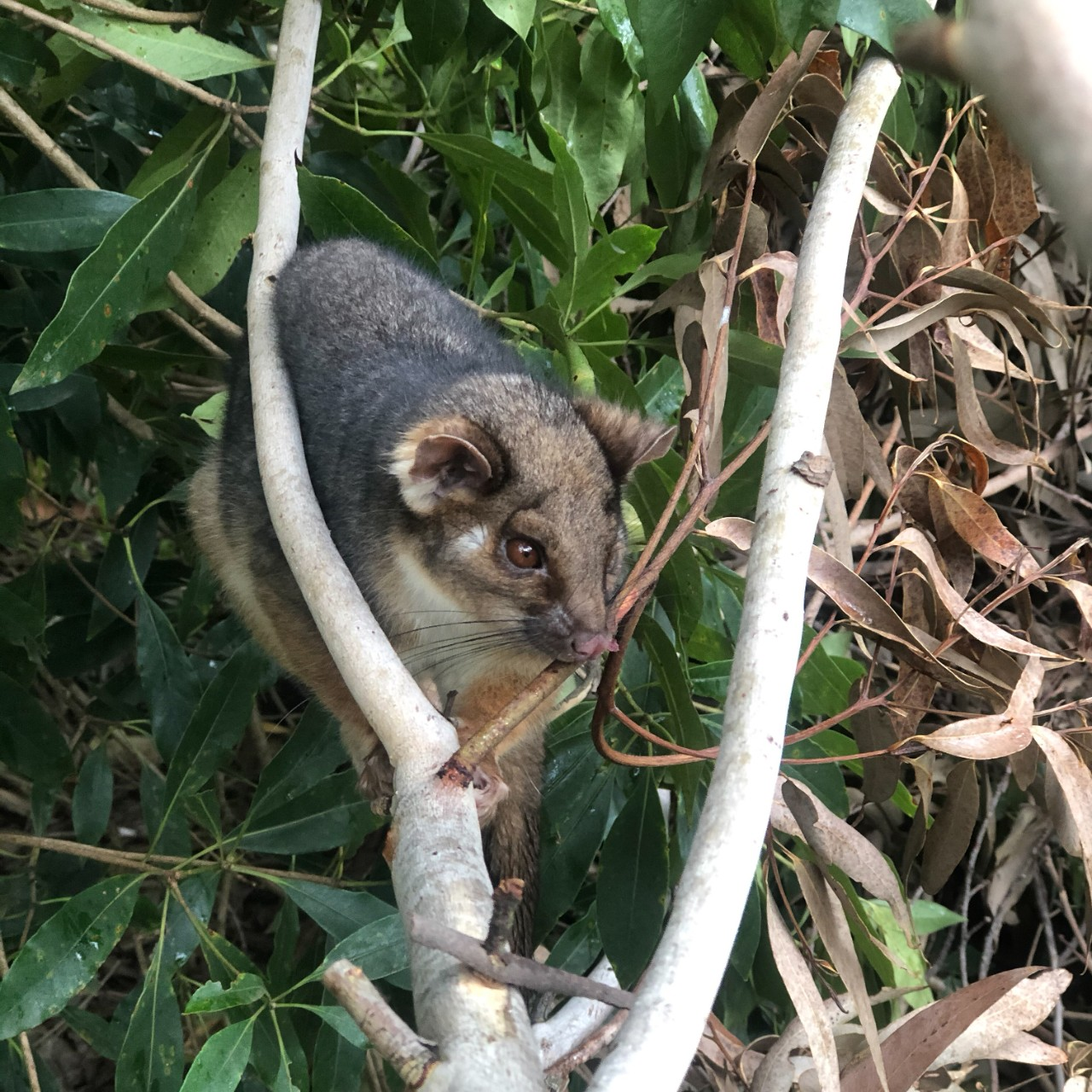 ringtail possum on a tree branch
