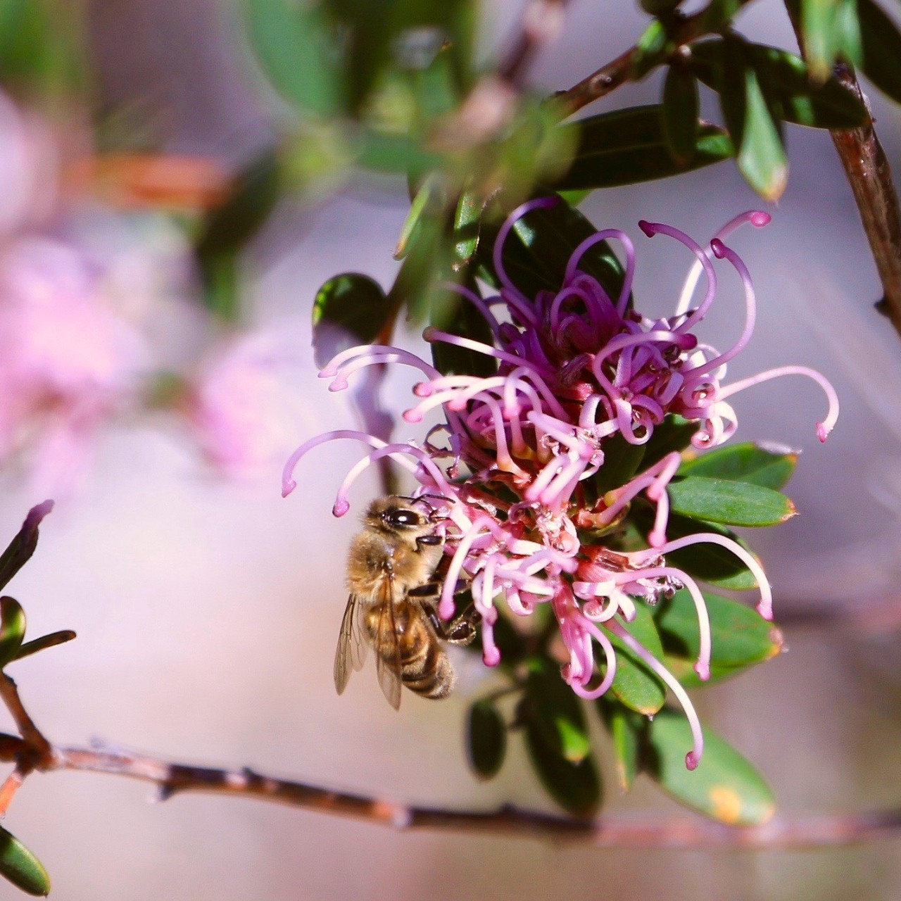 a honey bee on a pink spider flower