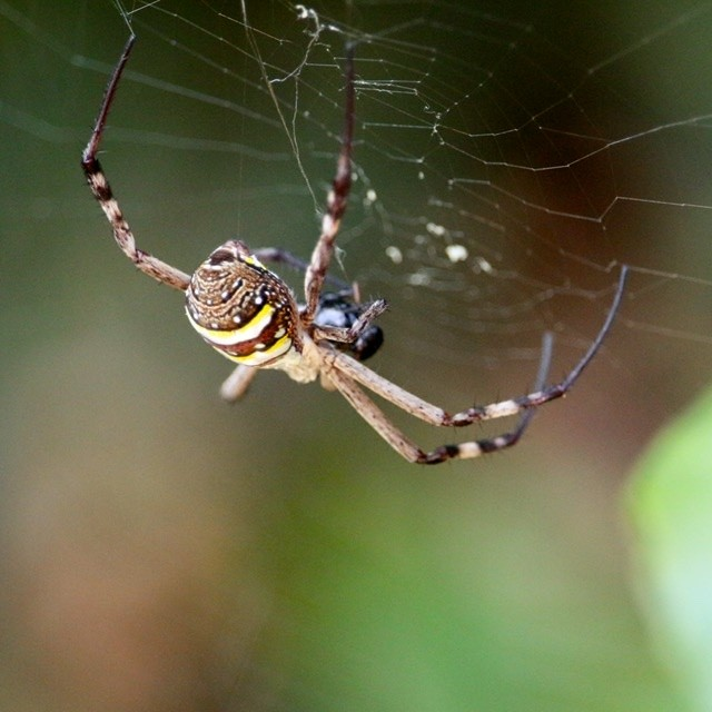 St Andrews cross spider in web