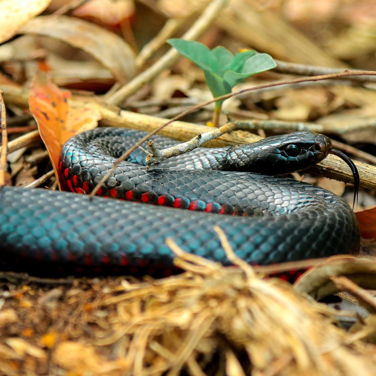 a red bellied black snake on the ground